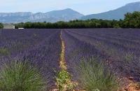 Champ de lavandin de Valensole dans les Alpes de Haute Provence